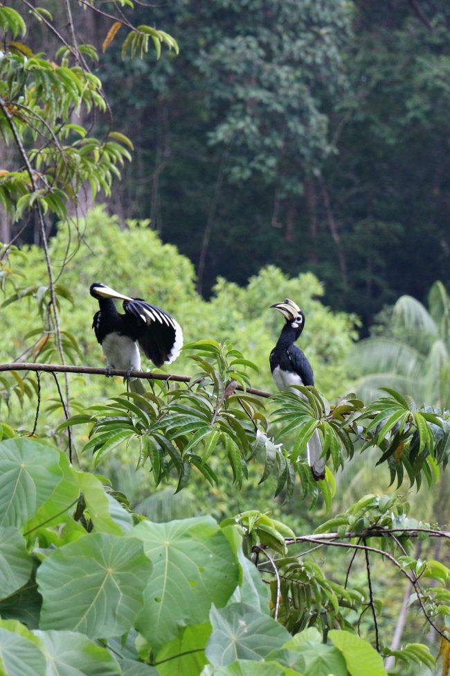 nashornvögel