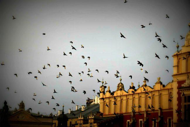 Krakau Tauben über dem Marktplatz