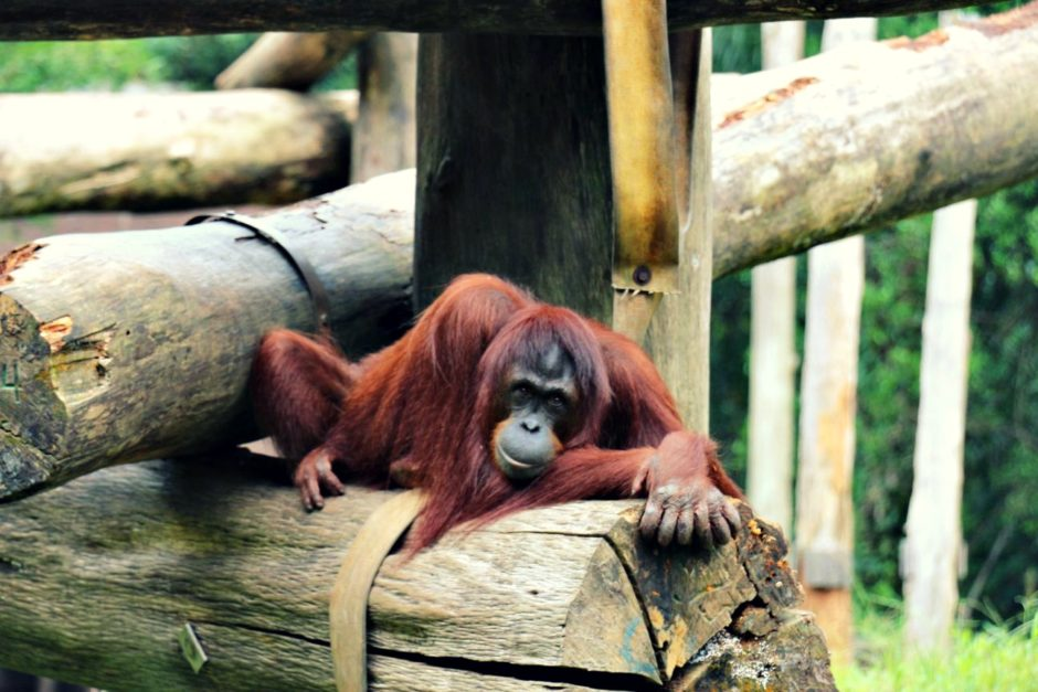 Orang Utan Lok Kawi Wildlife Park