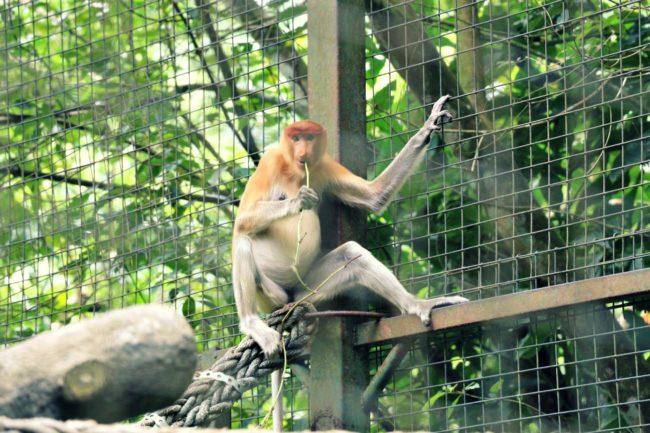 Nasenaffe Lok Kawi Wildlife Park