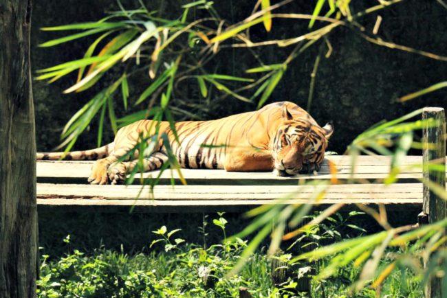 Malaysischer Tiger Lok Kawi Wildlife Park