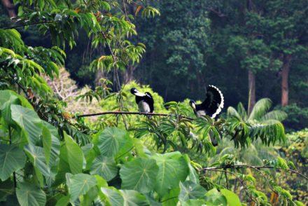 Nashornvögel Pulau Gaya