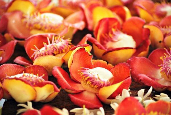 Blüten Kanonenkugelbaum