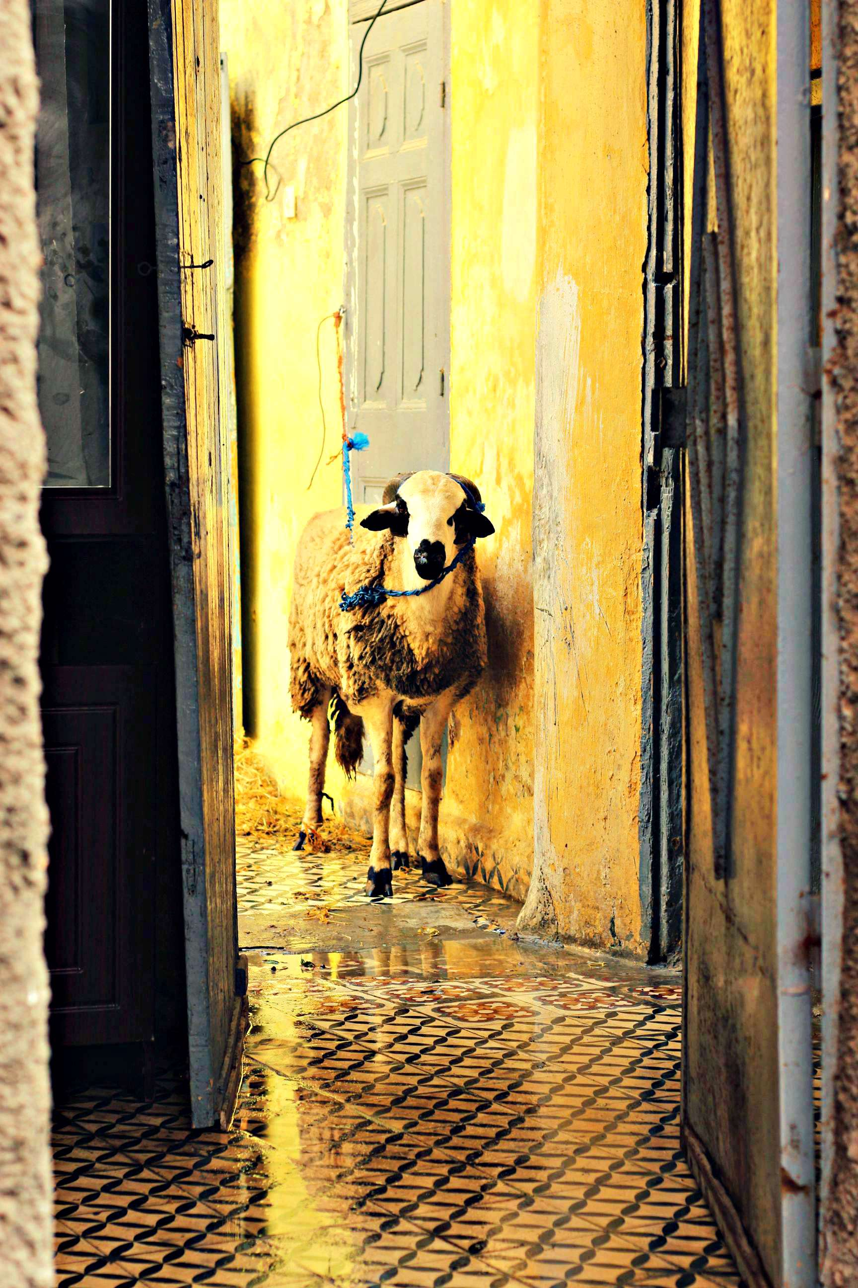 Schafe Marokko