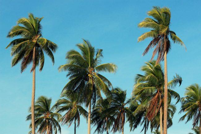 Palmen in Kambodscha