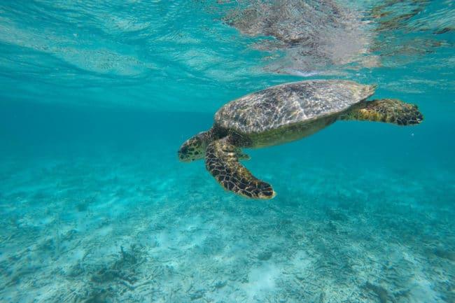 angaga schildkröte